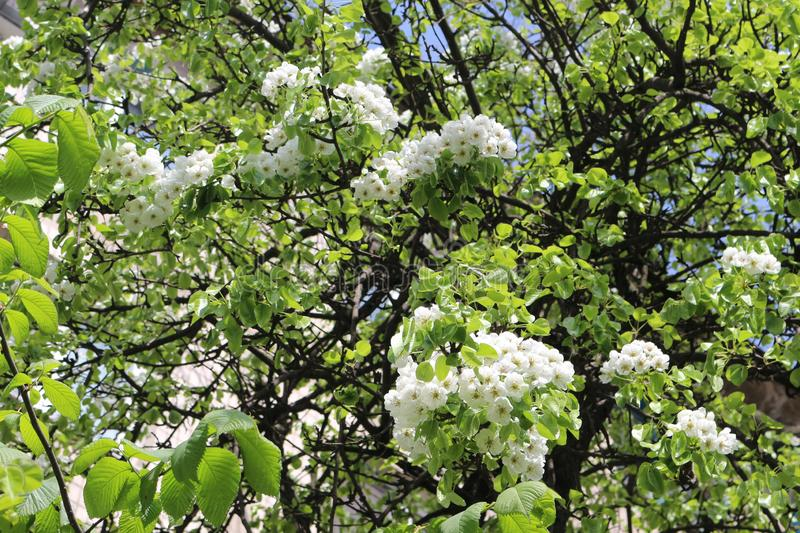 Blooming apple trees are very beautiful and smell great. Natural beauty stock photos