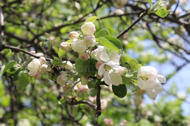 Blooming apple trees are very beautiful and smell great. Natural beauty royalty free stock image