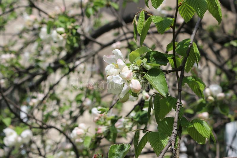 Blooming apple trees are very beautiful and smell great. Natural beauty stock photo