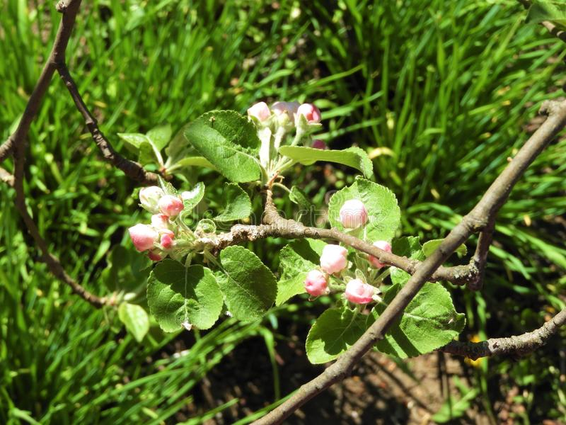 Blooming appletree  tree in spring royalty free stock image
