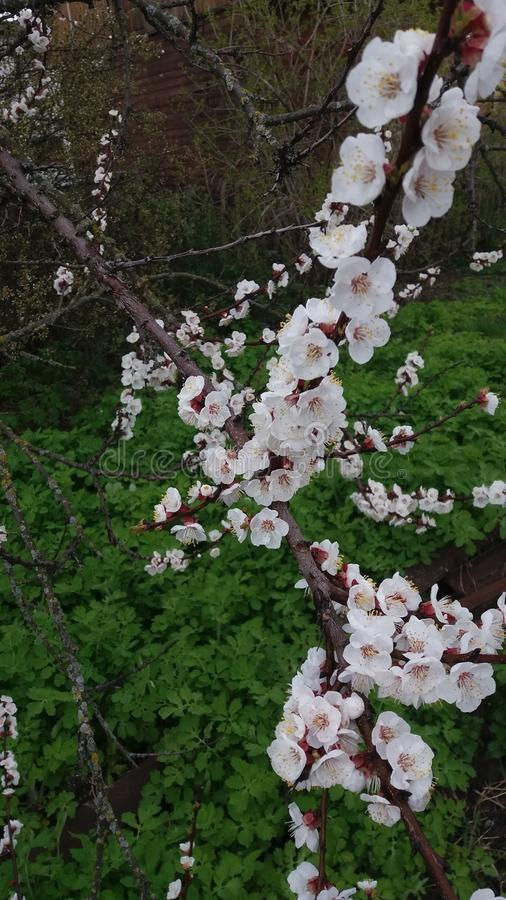 Blooming apricot royalty free stock photography