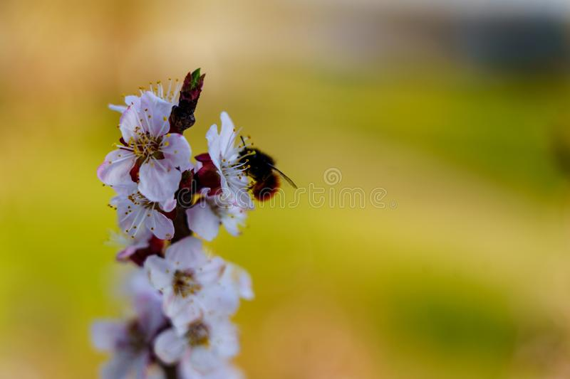 Blooming apricot sprig with beautiful white flowers with small bee on the flower close up in sunshine spring royalty free stock images