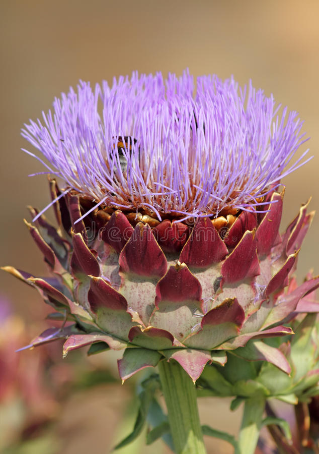 Download Blooming Artichoke Stock Photo - Image: 25946980