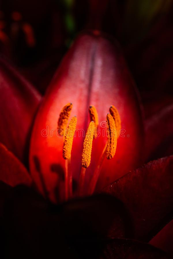 Blooming beautiful lily flowers in macro view royalty free stock photography