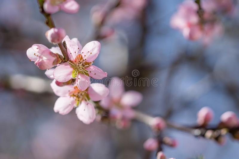Blooming beautiful pink peach flowers on branches. April spring stock images