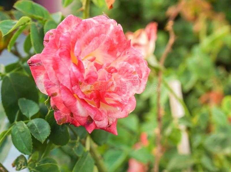 Blooming beautiful pink red rose plant in the farm. Close up blooming beautiful pink red rose plant in the farm stock photos