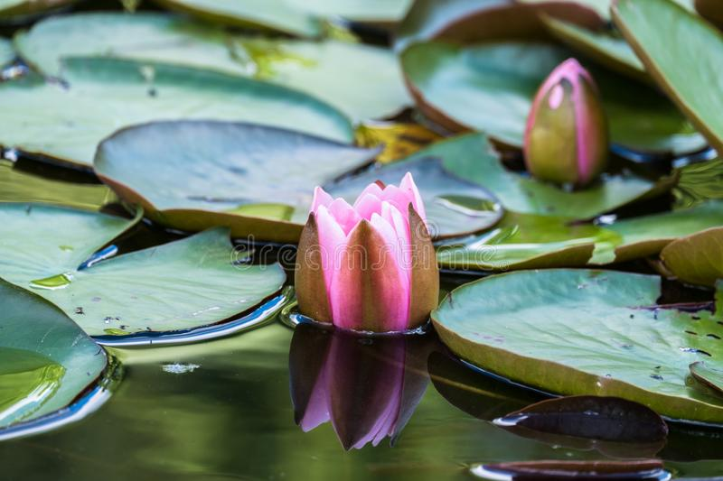 Blooming beautiful pink water lilies in the water of the old pond. Natural background stock images