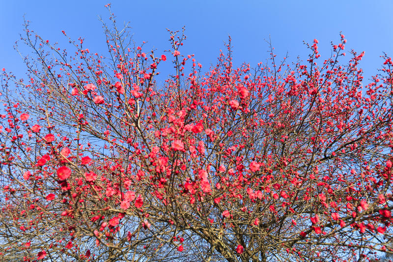 Blooming beautiful red flower in the spring,Japanese plum blossoms (Ume Flower) royalty free stock images