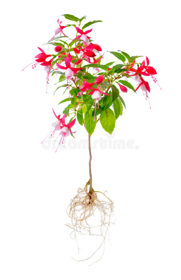 Blooming beautiful stam tree of red and white fuchsia flower wit. H roots is isolated on white background, `Shadow Dancer Betty`, closeup stock images