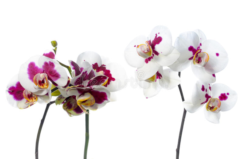 Blooming beautiful two twigs spotted orchids is isolated on the. White background, closeup royalty free stock photo
