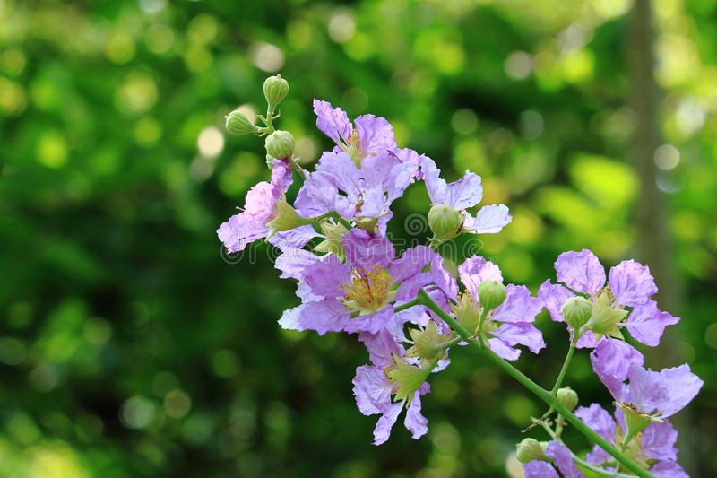 Blooming of Beautiful Violet Flowers On the Branch. Closed Up Blooming of Beautiful Violet Flowers On the Branch royalty free stock photos