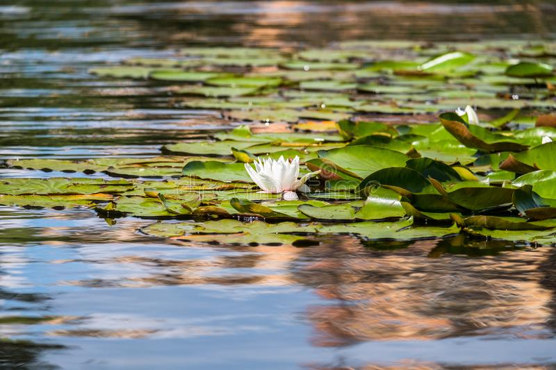 Blooming beautiful white water lilies in the water of the old pond. Natural background stock image
