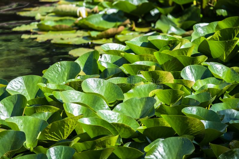 Blooming beautiful white water lilies in the water of the old pond. Natural background stock photo
