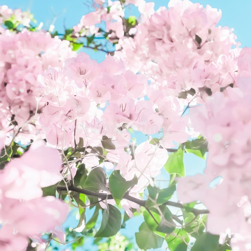 Pastel pink blooming flowers and blue sky in a dream garden, floral background stock image