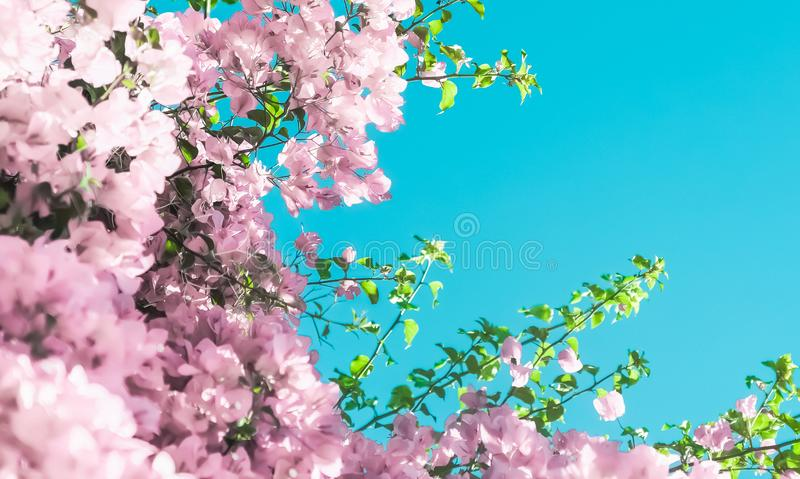 Pastel pink blooming flowers and blue sky in a dream garden, floral background stock photo