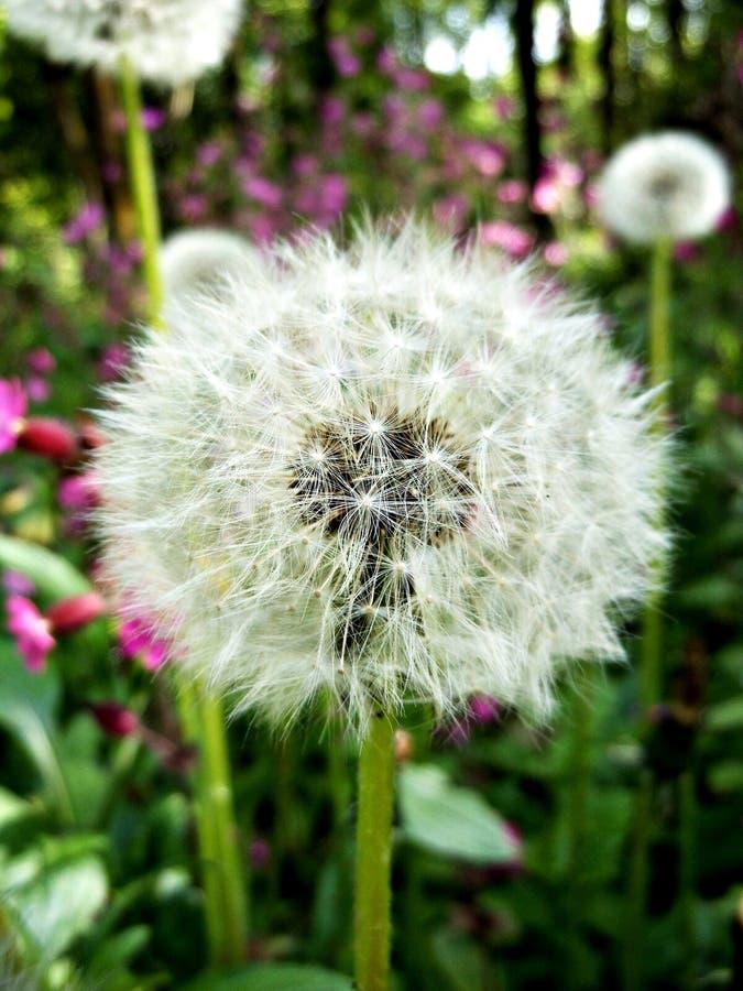 Blooming big dandelion. In my garden stock image
