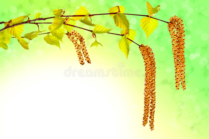 Download Blooming Birch Sprig With Catkins Royalty Free Stock Photography - Image: 24322527