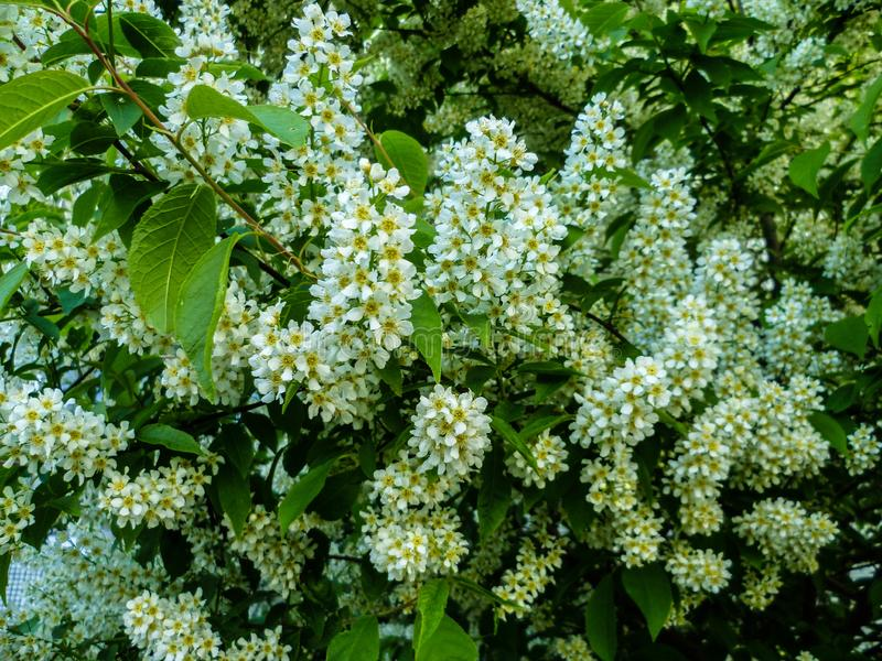 Blooming bird cherry bush on a summer day in the north of Russia. Bird cherry blossomed - it became colder outside stock image