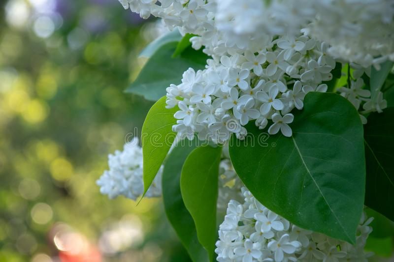 Blooming bird cherry in a city park. On a sunny spring day royalty free stock images