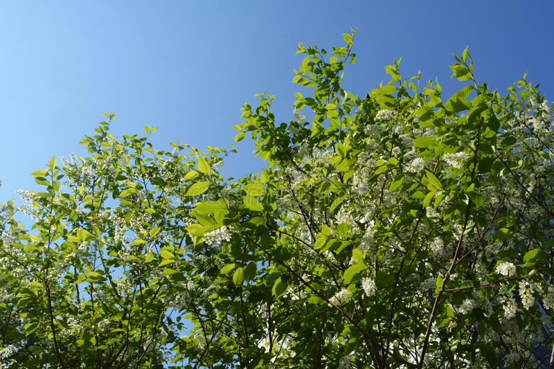 Blooming bird-cherry tree against clear blue sky. Beautiful white flowers and green leaves in spring day royalty free stock photography