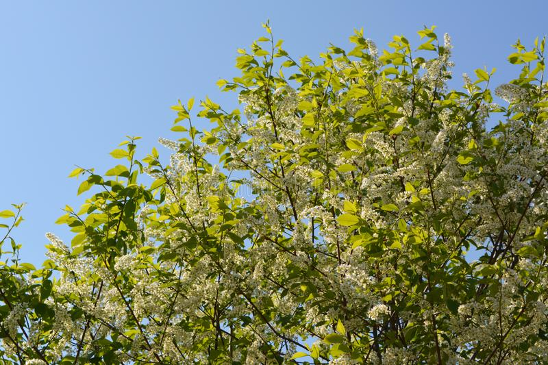 Blooming bird-cherry tree in sunny spring day. Branches with flowers and leaves against light blue sky. stock photos