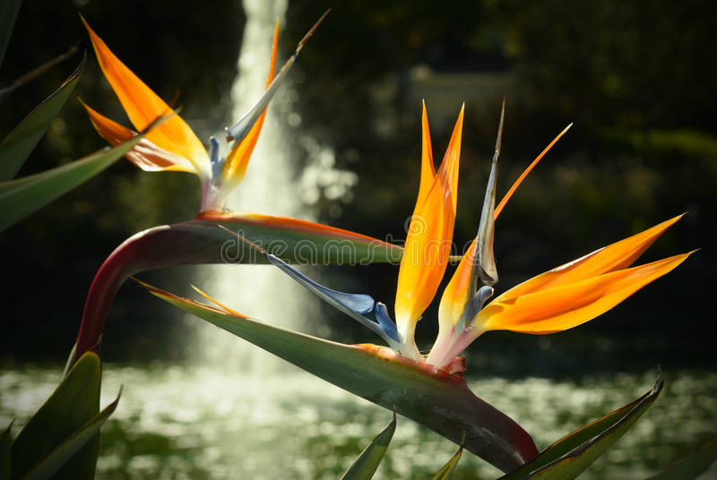 Blooming Birds of Paradise. Exotic Flowers on a Pond Water Fountain Blurred Background. Two tropical flowers with orange sepals, blue petals and thick, waxy stock photos