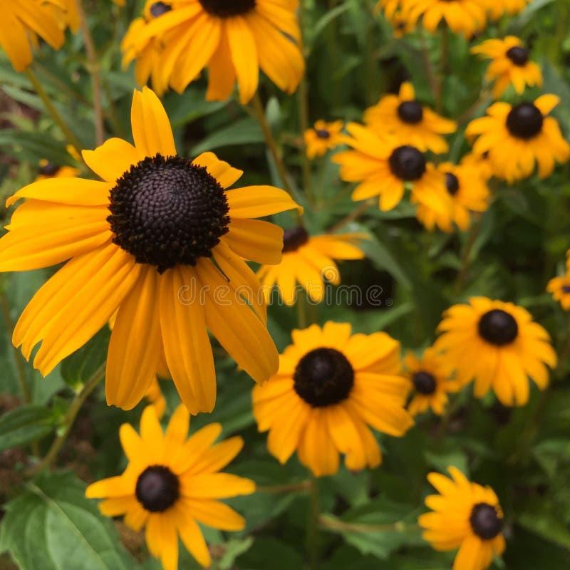 Blooming Black-Eyed-Susan Flowers (Rudbeckia hirta) royalty free stock image