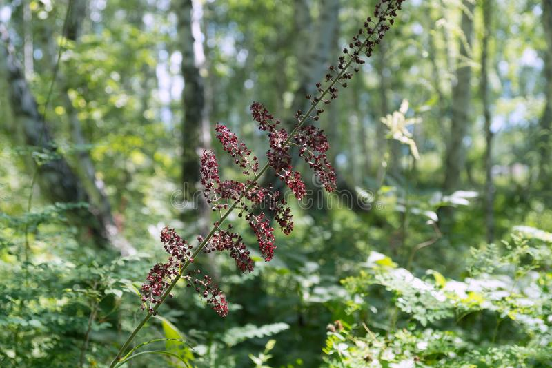 Blooming black false hellebore Veratrum nigrum L. on a green background in in a birch forest stock images