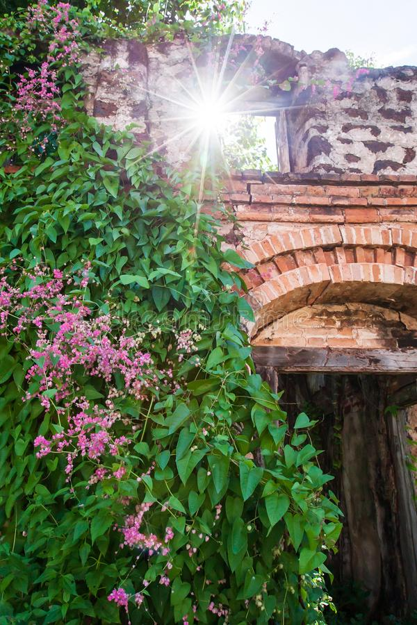 Blooming Bleeding Heart Vine on old brick wall, beautiful pink flowers and green leaves, sunny star ray shining through old arch stock photos
