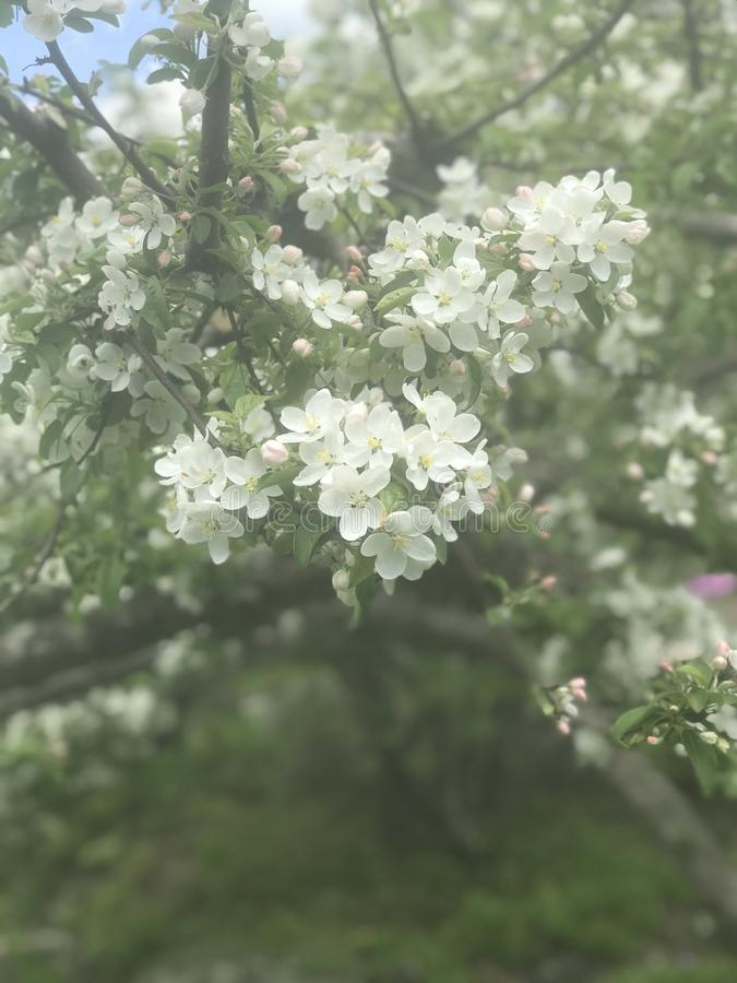 Blooming blossom stock photo