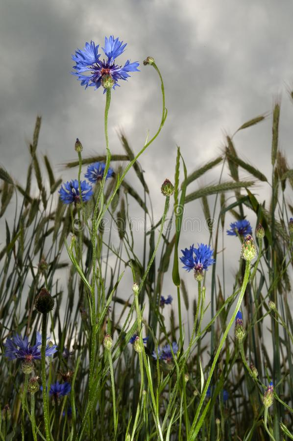 Blooming blue cornflowers in grainfield royalty free stock images