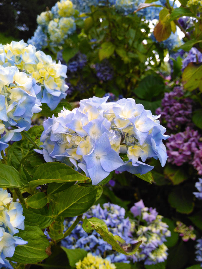 Blooming blue hydrangea flowers royalty free stock photography