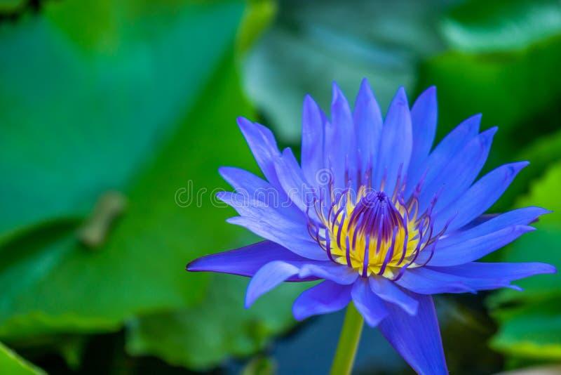 Blooming blue lotus in swamp royalty free stock photo