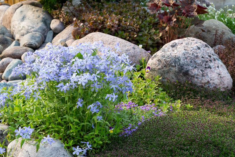 Blooming blue phlox and other flowers in a small rockeries in the summer garden.  stock photos