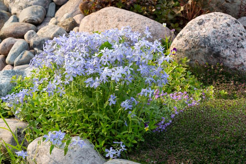 Blooming blue phlox and other flowers in a small rockeries in the summer garden.  royalty free stock photos