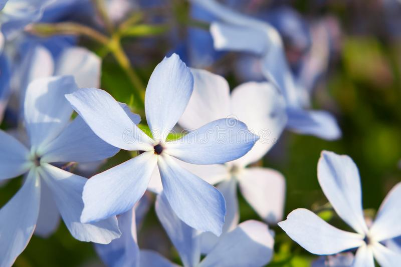 Blooming blue phlox and other flowers in the summer garden close up.  royalty free stock photos