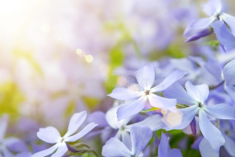 Blooming blue phlox and other flowers in the summer garden close up.  stock photography