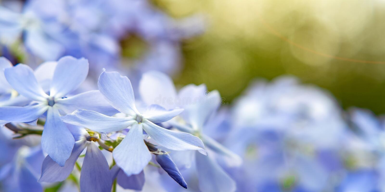 Blooming blue phlox and other flowers in the summer garden close up.  stock photos