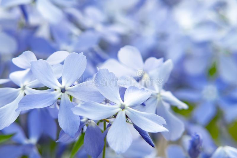 Blooming blue phlox and other flowers in the summer garden close up.  stock images