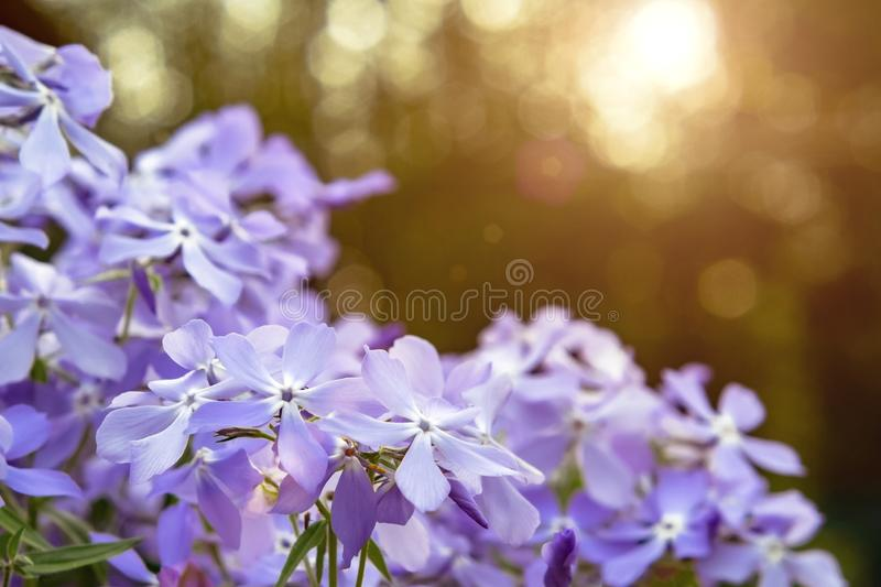 Blooming blue phlox and other flowers in the summer garden close up.  royalty free stock images