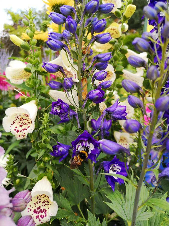 Delphinium elatum in garden. Bumblebee on bluedelphinium royalty free stock image