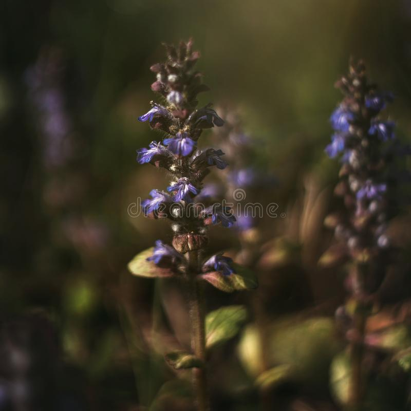 Blooming blue purple bugle, ajuga reptans, bugleweed on green background. Catlins giant on a summer meadow. Medicinal plant. Close stock photography