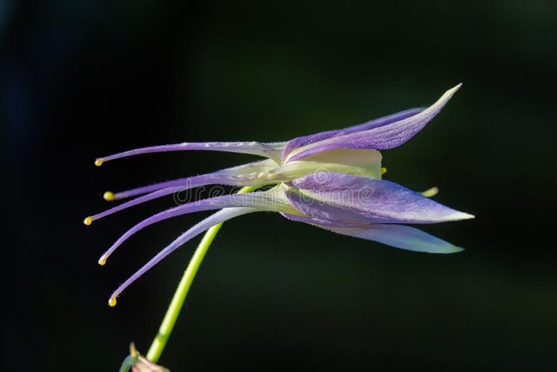Blooming blue-purple flower Aquilegia laramiensis stock photos