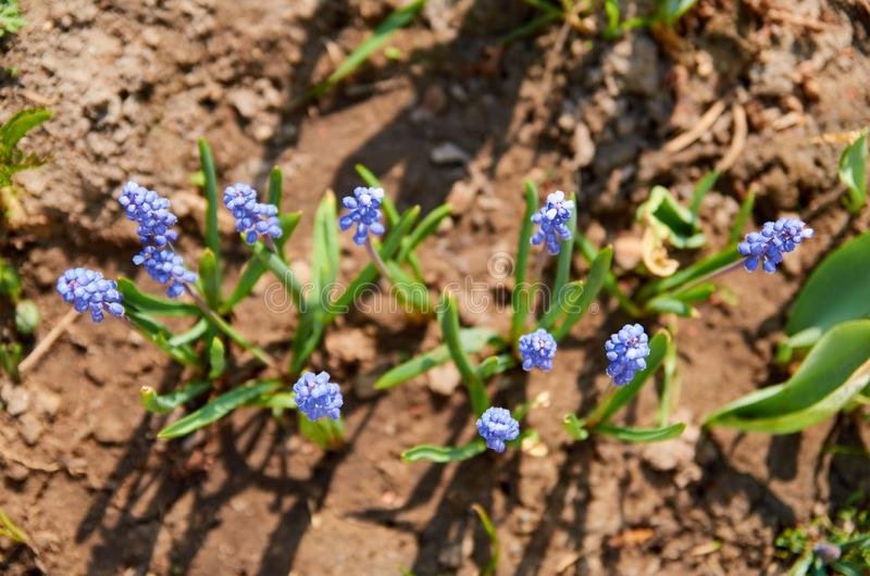 Blooming blue spring flowers on blurred nature green background stock photography