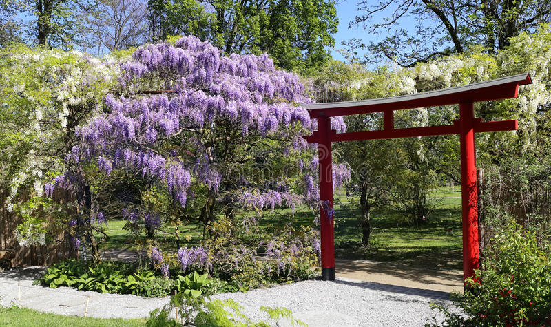 Blooming blue and white wisteria in the Japanese garden stock photos