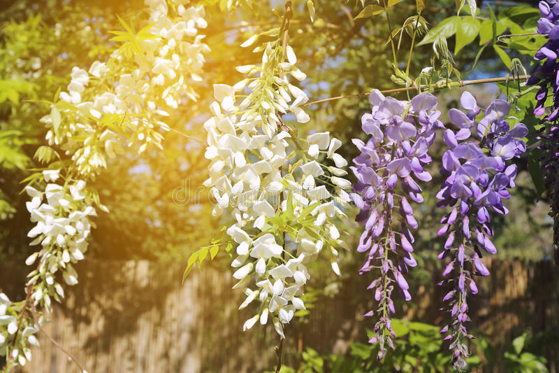Blooming blue and white wisteria vine royalty free stock image