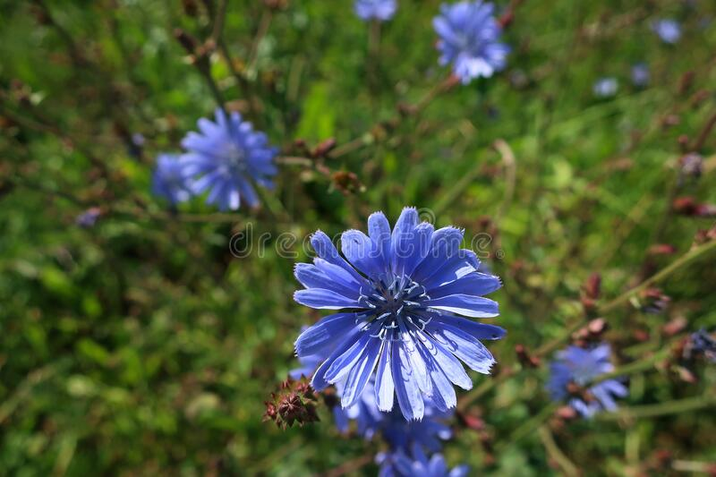 Blue wildflowers in the meadow. Blooming blue wildflowers in a meadow close-up stock photo