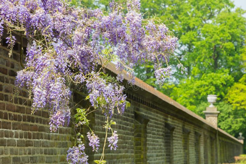 Blooming blue wisteria hanging over long brick wall stock photography