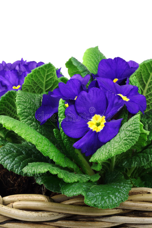 Download Blooming Blue And Yellow Primula's Stock Image - Image: 18414735