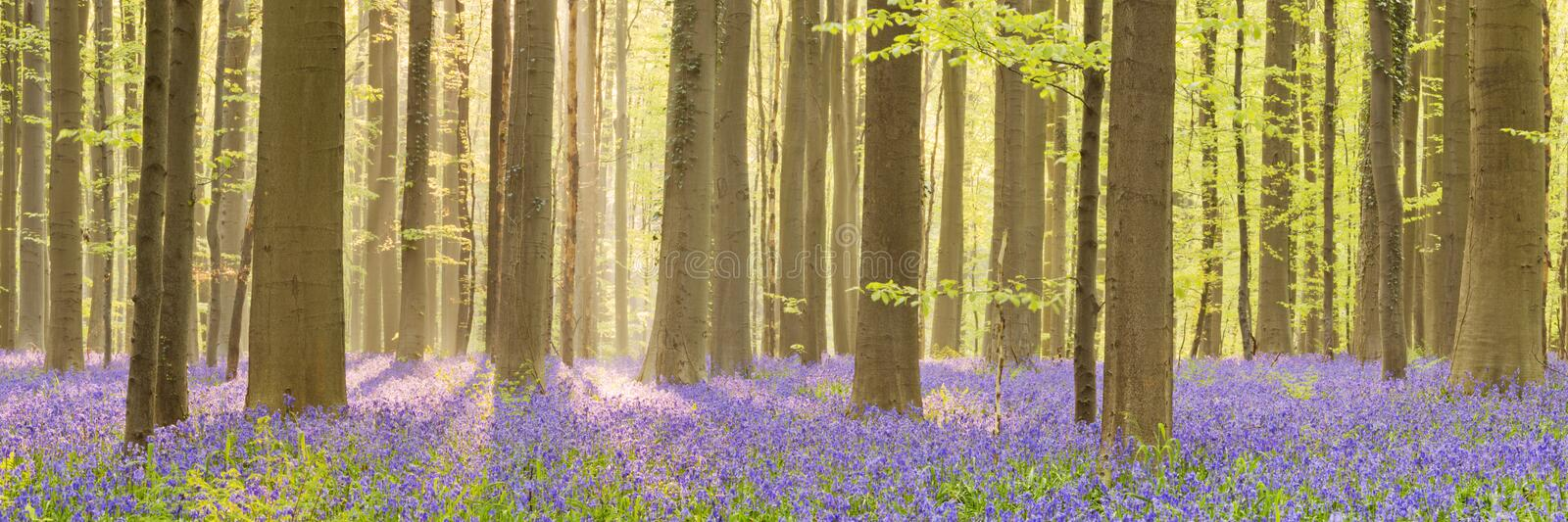 Blooming bluebell forest of in morning sunlight. A beautiful blooming bluebell forest in early morning sunlight. Photographed in the Forest of Halle (Hallerbos) royalty free stock photo